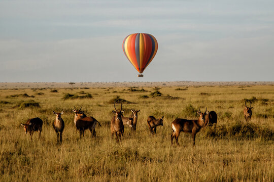 Waterbuck (Kobus ellipsiprymnus) family standing, with a  a hot air balloon in the background, on the savannah of the Masai Mara National Park in Kenya.