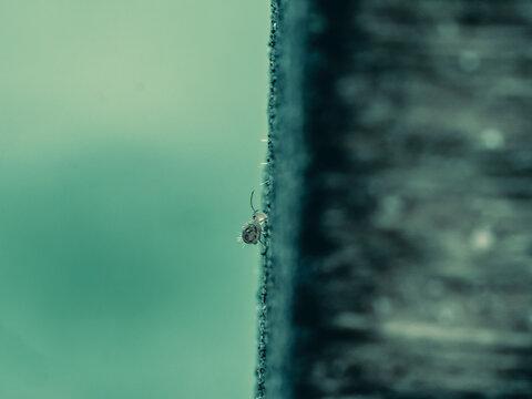 Collembole - Springtail - Dicyrtomina saundersi - collembola - petit animal vivant dans le sol des forêts