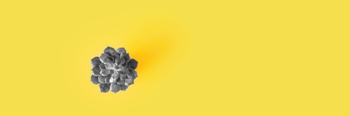 Top view of echeveria succulent toned grey color on yellow background. Long banner with copy space