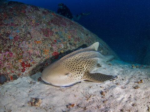 Zebra shark in a sandy bottom (Similan, Thailand)