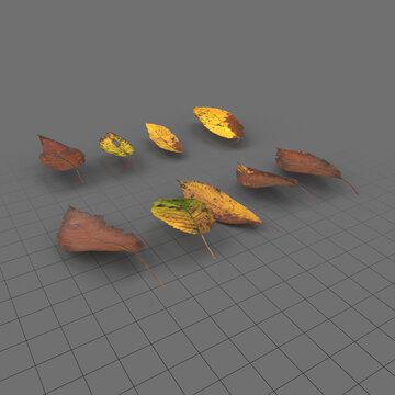 Dry cherry leaves