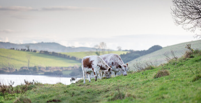Cattle grazing peacefully in County Down drumlins Northern Ireland