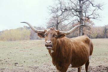 Wall Mural - Texas longhorn cow with funny face in farm field on farm, large horns.