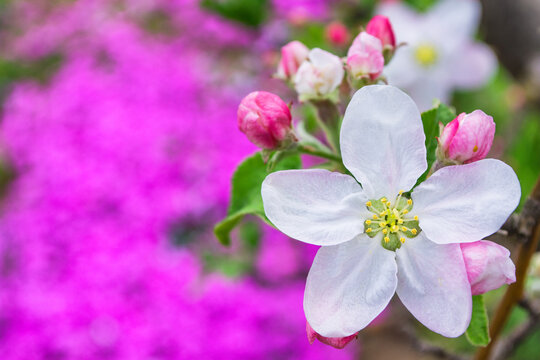 The apple tree blooms against the background of phlox subulata flowers.