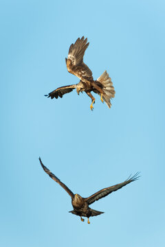 Female marsh harrier fighting with a common buzzard