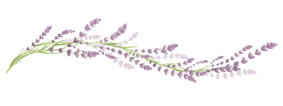 Lavender -- narrow banner. Long border with flowers and leaves, vector illustration, design element.