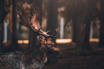 Dammwild im Wald mit Geweih
