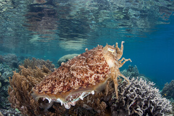 Wall Mural - A Broadclub cuttlefish hovers over a coral reef in Raja Ampat, Indonesia. This remote, tropical region is known as the heart of the Coral Triangle due to its incredibly high marine biodiversity.