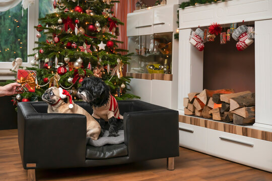 Dogs get a gift for Christmas. 2 breeds, Tibetian Terrier and Pug, sitting in noble leather dog sofa. Hand holds gift. Pug makes big eyes.