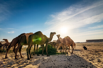 Landscape with group of camels in Al-Sarar desert, SAUDI ARABIA.