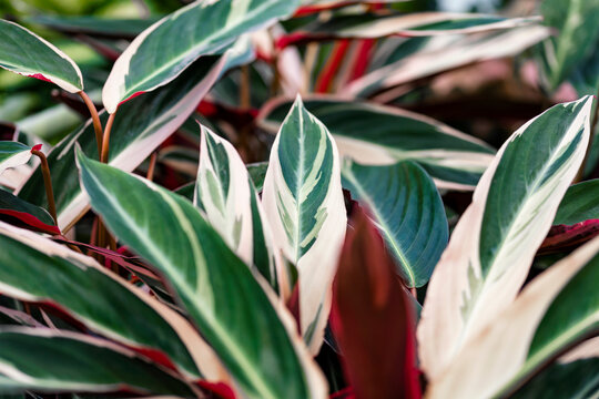The Leaves of a Stromanthe sanguinea. This plant is native to the Brazilian rainforest. It is a common houseplant in temperate climates. This variety is the Stromanthe sanguinea Triostar.