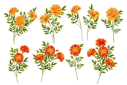 Set of Marigold Flowers