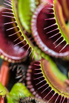 Trapping Leaves of a Venus Fly Trap (Dionaea muscipula) Plant