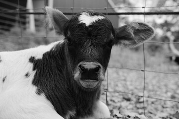 Wall Mural - Calf portrait of young beef baby cow close up in black and white.