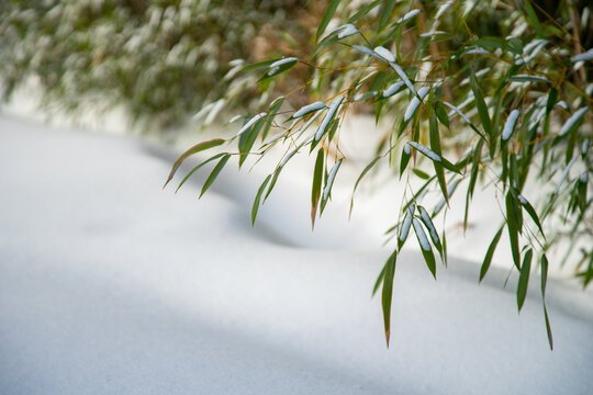 Bamboo Snow & Ice, Hardy Japanese Bamboo Timber Wood In Garden