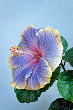 Lilac and yellow hibiscus flower on garden