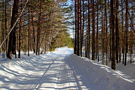Winter forest. Tree branches have no snows on the trees, so it seems that the forest is very rare. Snow covered road between the trees. Unusual contrast of green trees and white  snow.