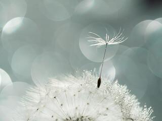Fototapeta Closeup of white dandelion with drops on natural gray background, defocus light, bokeh