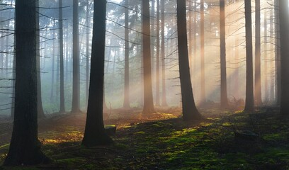 Panoramic view of the mysterious evergreen forest in a fog. Ancient pine tree silhouettes close-up....