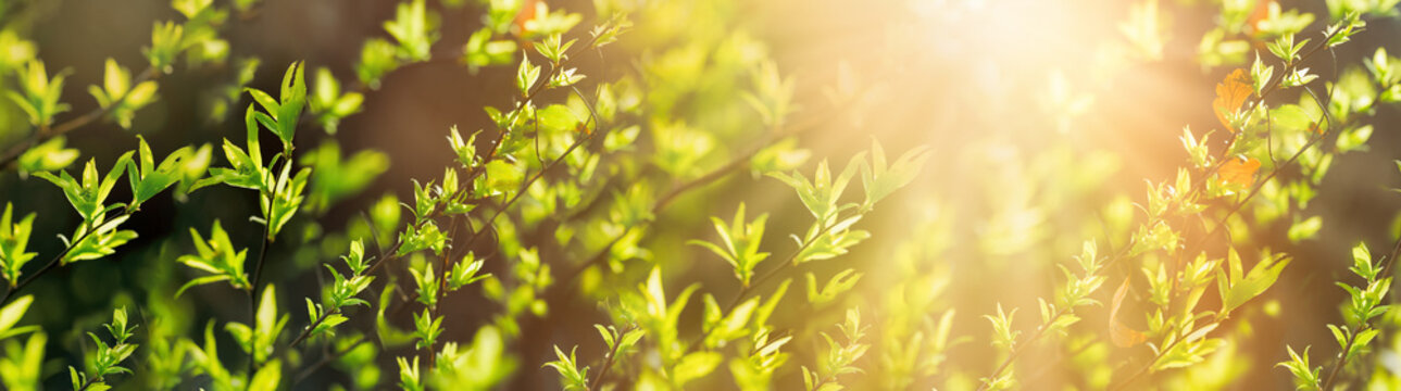 Fresh green spring leaves in forest lit by sun rays (sunbeams)