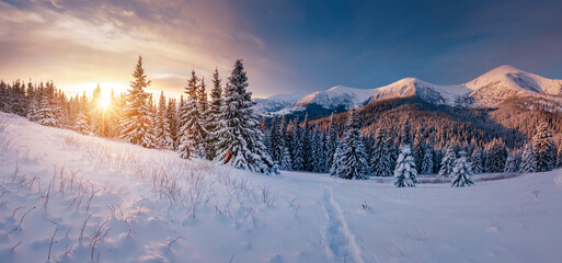 Wall Mural - Scenic image of spruces tree in frosty day. Location place Carpathian mountains, Ukraine.