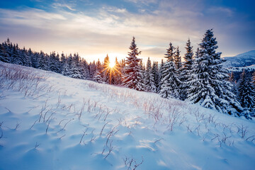 Wall Mural - Splendid winter spruces in snow on a frosty day. Location place Carpathian mountains, Ukraine.