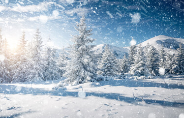 Wall Mural - Frosty day in snowy coniferous forest. Location place Carpathian mountains, Ukraine.