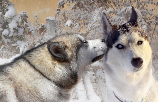 two purebred husky dogs and a malamute gossip at a snowy fence