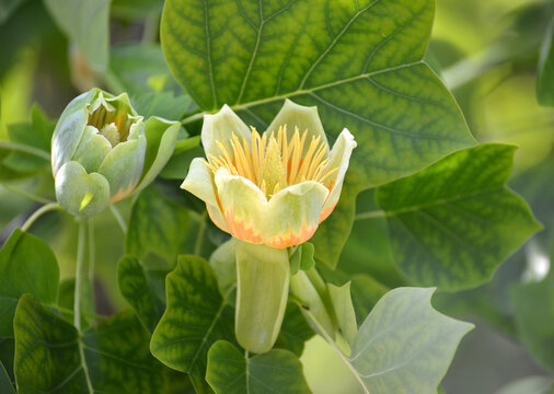 Two flowers of the tulip lyriodendron (tulip tree) (Liriodendron tulipifera L.)