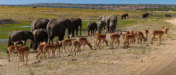 Antílopes y elefantes en manada, parque nacional de Chobe