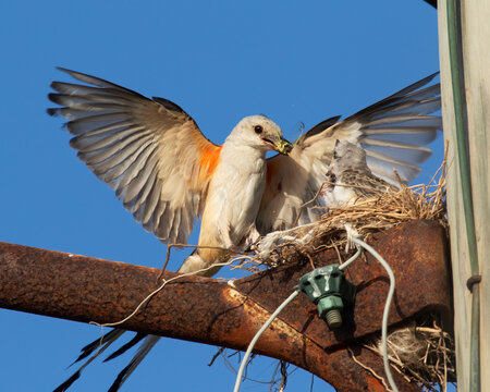 The scissor tailed flycatcher (Tyrannus forficatus) feeding nestlings, Texas