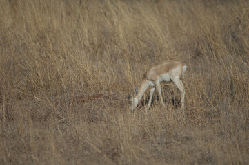 Young male of blackbuck Antilope cervicapra feeding. Devalia. Gir Sanctuary. Gujarat. India.