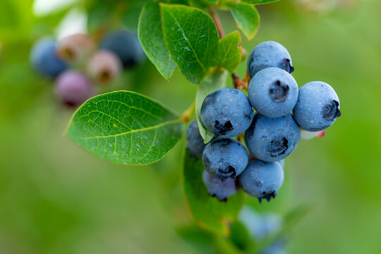 Blueberry, blueberries growing on the bushes.  A mix between mature and immature organic fruits.  Macros with selective focus.