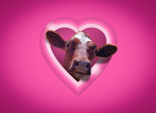 A funny Valentine's day card with a cute cow peeping through a heart shaped window in a pink wall