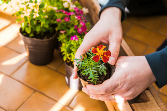 Man hands planting plant in pot at balcony