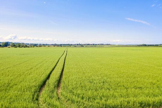 Vast green oat (Avena sativa)field in summer