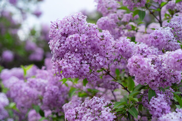 Fototapeta Blooming lilac flowers
