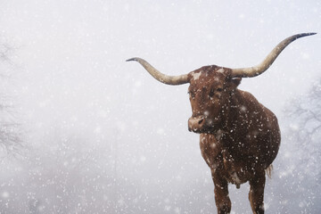 Wall Mural - Texas longhorn cow close up for winter portrait on farm in snow, copy space on foggy background.