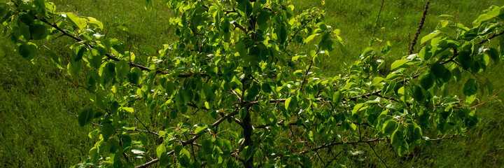 Branches and green foliage of wild pear on a background of grass. Wall mural