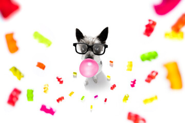 poodle dog eating sweet candies