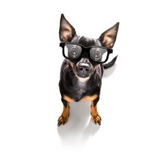 smart prague ratter dog