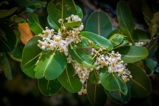 A closeup image of calophyllum inophyllum flowers on Mahe island, Seychelles.
