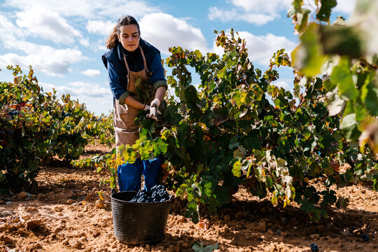 Low angle of female winegrower picking fresh grapes while leaning forward near bucket under blue cloudy sky