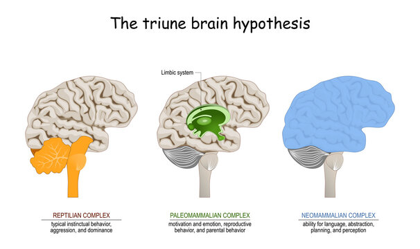 triune brain hypothesis. theory about evolution of human's brain