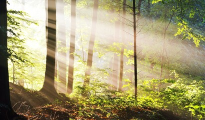 Panoramic view of the majestic green deciduous and pine trees in a morning fog. Forest floor of...