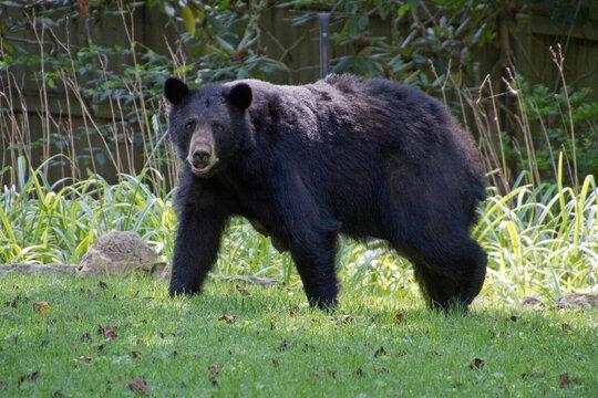 Mama Black Bear With Teats Full of Milk
