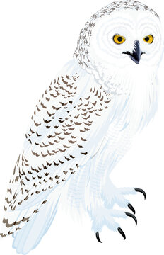 vector arctic snowy owl illustration