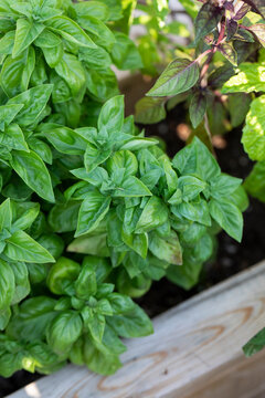 Detail of basil and herbs in a home garden