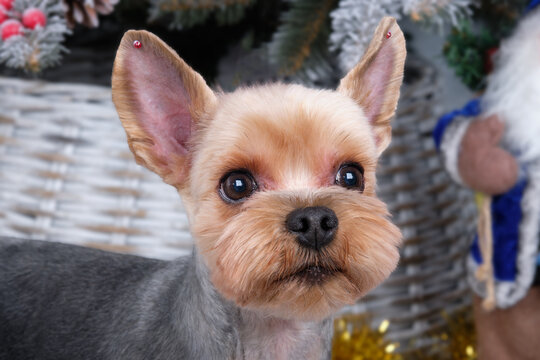 Yorkshire Terrier with large ears like Mickey Mouse close-up.