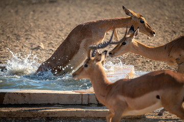 Female common impala struggles to escape water